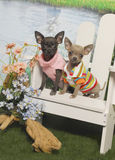 Chihuahua Puppies in an Adirondack Chair Stock Photo