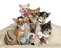 Chihuahua puppies and adults in clothing sitting stock image