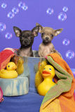 Chihuahua Puppies in a Bath Tub Royalty Free Stock Image
