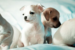 Chihuahua puppies Stock Images