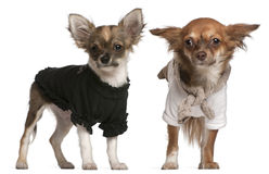 Chihuahua puppies, dressed up Royalty Free Stock Image