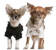 Chihuahua puppies, dressed up, 3 months old Royalty Free Stock Photos