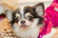 Chihuahua Puppies Royalty Free Stock Photo