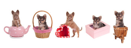 Chihuahua puppies with gift boxes,basket,teapot. Five chihuahua puppies with different accessories (pink and red heart shaped gift boxes, cart, basket, pink tea Royalty Free Stock Photography