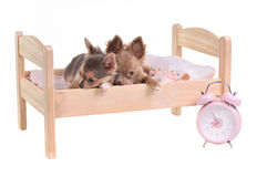Chihuahua puppies lying in bed with alarm-clock Stock Photos
