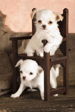 Chihuahua puppies in miniature chair Royalty Free Stock Photos