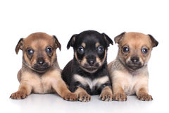 Chihuahua puppies (1 month) Royalty Free Stock Image