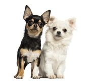 Chihuahua puppies next to each other, looking at the camera. Isolated on white stock images