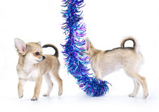 Chihuahua puppies playing around shiny tinsel Stock Image