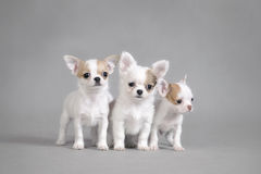 Chihuahua puppies portrait Stock Image