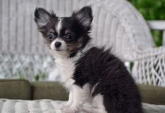 blue merle chihuahua puppy 8 weeks old royalty free stock