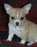 Chihuahua puppies 15 Stock Photos