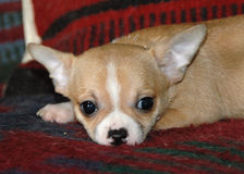 Chihuahua puppies 18 Royalty Free Stock Image