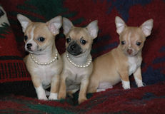 Chihuahua puppies 25 Stock Photography