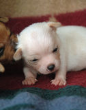 Chihuahua puppies 54 Stock Image