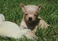 Chihuahua puppies 76 Stock Photography