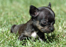Chihuahua puppies 77 Stock Photos
