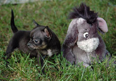 Chihuahua puppies 86 Stock Photo