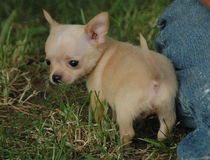 Chihuahua puppies 90 Royalty Free Stock Image