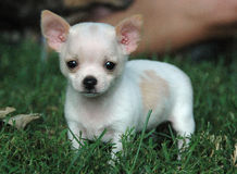 Chihuahua puppies 108 Royalty Free Stock Images
