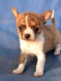 Chihuahua puppies  Royalty Free Stock Image