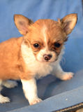 Chihuahua puppies  Royalty Free Stock Photos