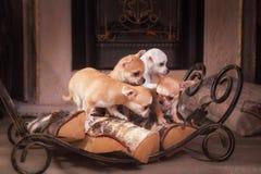 Chihuahua puppies Retro Stock Image