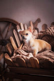 Chihuahua puppies Retro Royalty Free Stock Photo