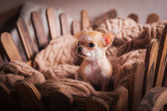 Chihuahua puppies Retro Stock Photography