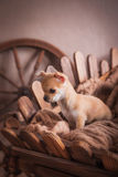 Chihuahua puppies Retro Stock Photos