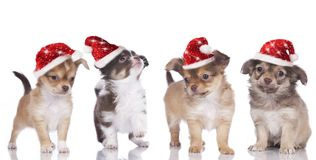 Chihuahua puppies with santa hat Royalty Free Stock Photos