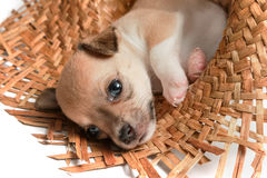 Chihuahua puppies sleeping in woven hats. Cute chihuahua puppies sleeping in woven hats Stock Photos