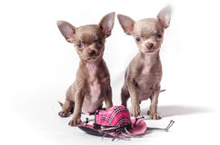 Chihuahua puppies with toy hat. Tiny Chihuahua puppies with toy hat isolated on white background Stock Photography
