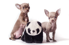 Chihuahua puppies with toy panda. Tiny Chihuahua puppies with toy panda isolated on white background Royalty Free Stock Images