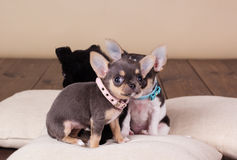 Chihuahua puppies are wearing dog-collar Stock Photos