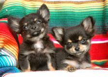Chihuahua puppies 180 Royalty Free Stock Images