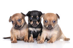 Chihuahua puppies on a white background Stock Photos