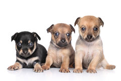 Chihuahua puppies on a white background Royalty Free Stock Photos