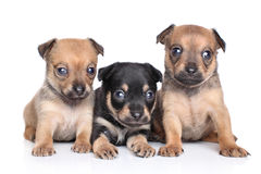 Chihuahua puppies on a white background Stock Images