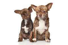 Chihuahua puppies on white background Royalty Free Stock Photo