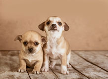 Chihuahua puppies on a wooden background Royalty Free Stock Images