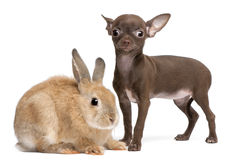 Chihuahua puppy, 10 weeks old, and rabbit Royalty Free Stock Photography
