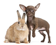 Chihuahua puppy, 10 weeks old, and rabbit Stock Image