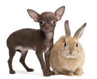 Chihuahua puppy, 10 weeks old, and rabbit Royalty Free Stock Images