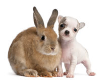 Chihuahua puppy, 10 weeks old, and rabbit Stock Photo