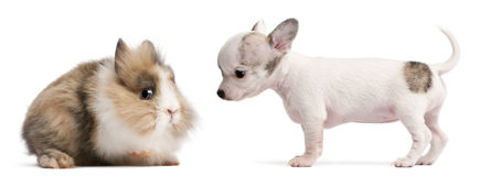 Chihuahua puppy, 10 weeks old, and rabbit Royalty Free Stock Photo