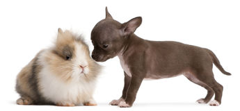 Chihuahua puppy, 10 weeks old, and rabbit Stock Photos