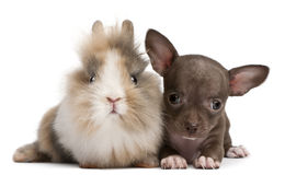 Chihuahua puppy, 10 weeks old, and rabbit. In front of white background Royalty Free Stock Image