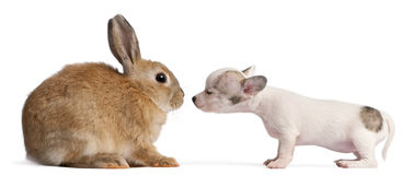 Chihuahua puppy, 10 weeks old, sniffing rabbit. In front of white background Stock Images