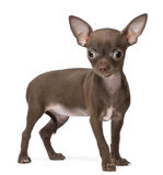 Chihuahua puppy, 10 weeks old, standing. In front of white background Royalty Free Stock Images
